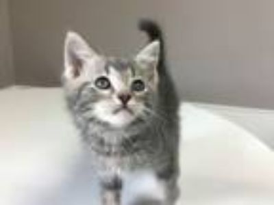 Adopt Aguilar a Domestic Short Hair