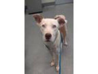 Adopt Cheerio a White American Pit Bull Terrier / Husky / Mixed dog in Longview
