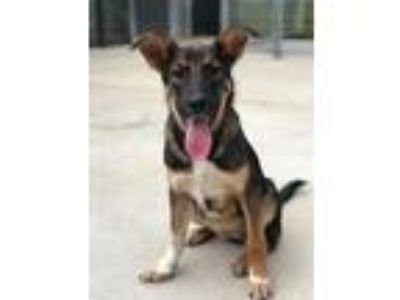 Adopt Darcie a Black - with Tan, Yellow or Fawn Shepherd (Unknown Type) / Mixed