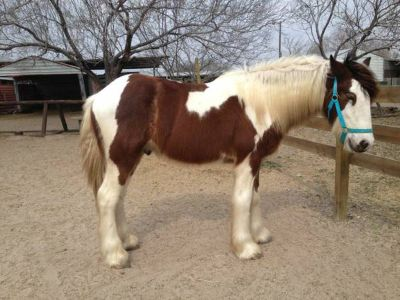 Registered Gypsy vanner horse colt