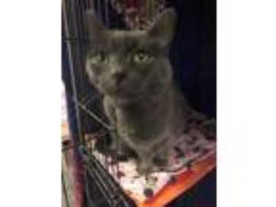Adopt Smokey a Russian Blue, Domestic Short Hair