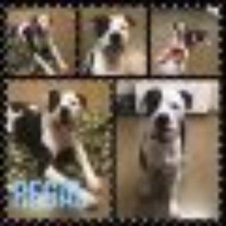Regal American Bulldog - Pit Bull Terrier Dog