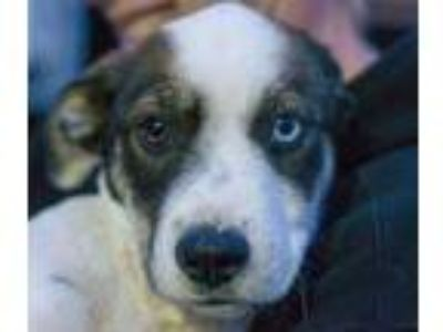 Adopt Mai Tai a Brindle Terrier (Unknown Type, Small) / Retriever (Unknown Type)