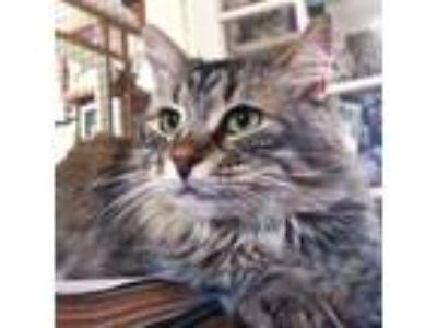 Adopt Josie - Fostered in Santa Cruz, CA a Maine Coon