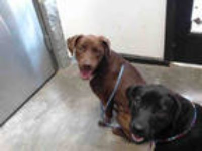 Adopt TWO SOCKS a Brown/Chocolate - with White Labrador Retriever / Mixed dog in