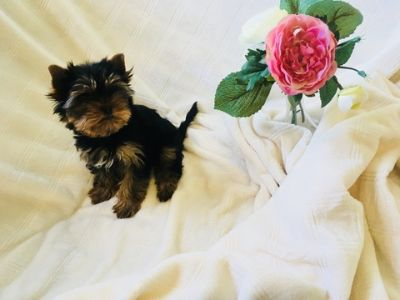 Yorkshire Terrier PUPPY FOR SALE ADN-98019 - Beautiful Teacup Yorkie Female Puppy