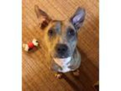 Adopt Prudence a Merle Catahoula Leopard Dog / Terrier (Unknown Type