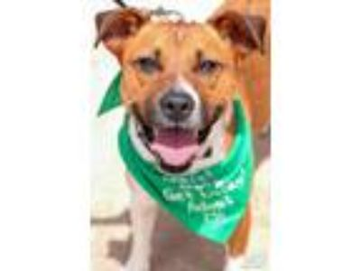 Adopt Penny a Brown/Chocolate - with White Retriever (Unknown Type) / Mixed dog