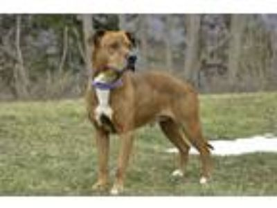 Adopt Brando a Tan/Yellow/Fawn - with White Mixed Breed (Medium) / Mixed dog in