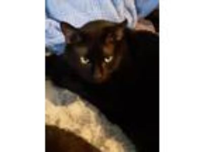 Adopt Zeus a All Black Bombay / Mixed (short coat) cat in Knoxville
