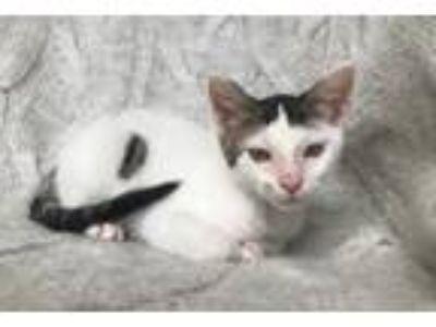 Adopt Havok a Black & White or Tuxedo Domestic Shorthair / Mixed (short coat)