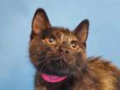Adopt Frenchy a All Black Domestic Shorthair / Domestic Shorthair / Mixed cat in