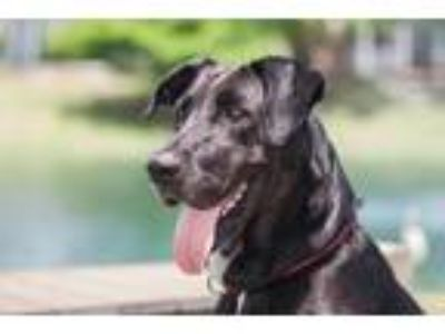 Adopt Piper a Black Great Dane / Mixed dog in Loxahatchee, FL (16219129)