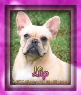 Lily Female AKC French Bulldog
