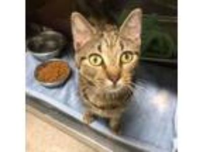 Adopt Mulan a Domestic Short Hair