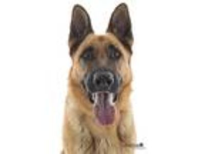 Adopt Zeus a Black - with Tan, Yellow or Fawn German Shepherd Dog / Mixed dog in
