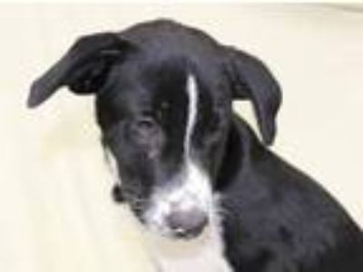 Adopt Sammy a Black - with White Border Collie / Mixed dog in Oxford