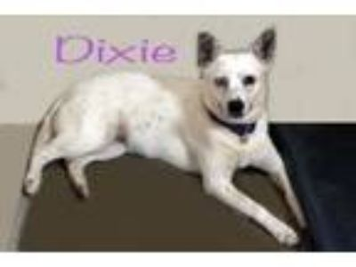 Adopt Dixie a Australian Cattle Dog / Blue Heeler