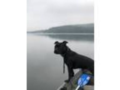 Adopt Ninja a Black - with White Terrier (Unknown Type, Medium) / Mixed dog in