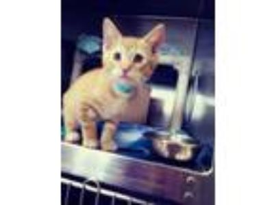 Adopt Catus a Orange or Red Domestic Mediumhair / Domestic Shorthair / Mixed cat