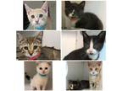 Adopt Avail.7/16 or 7/17, 28 kittens 2-3months Clik4info a Domestic Shorthair /