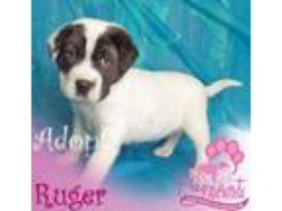 Adopt Ruger a Shar-Pei, Border Collie