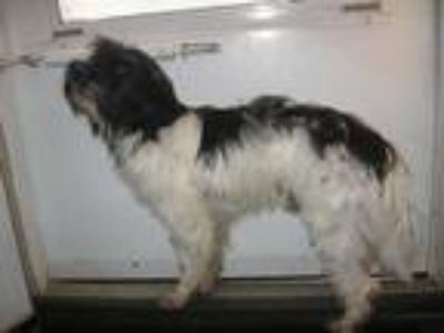 Adopt Pepe Le Pew a Black - with White Terrier (Unknown Type