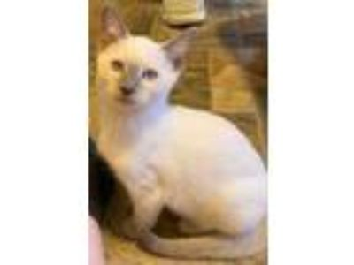 Adopt BAILEY a Cream or Ivory Siamese (short coat) cat in Kenosha, WI (25335046)