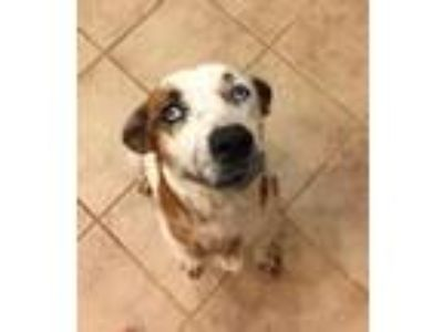 Adopt Mable a Red/Golden/Orange/Chestnut - with White Australian Cattle Dog /