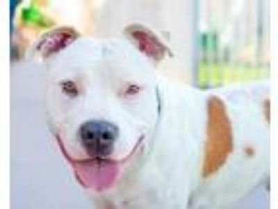 Adopt Benny a White American Staffordshire Terrier / Mixed dog in Palm Springs