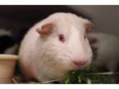Adopt Ben a Guinea Pig (short coat) small animal in Brooklyn, NY (25352150)