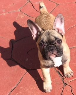Baby Girl Golden Fawn French Bulldog For Sale