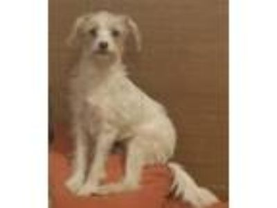 Adopt Bonnie a White - with Tan, Yellow or Fawn Wheaten Terrier / Mixed dog in