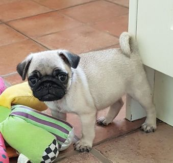aKc Registered Pug Puppies