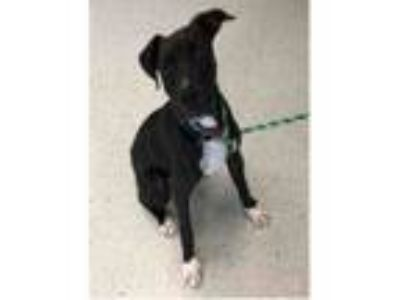 Adopt ARCHIE a Boxer, Mixed Breed