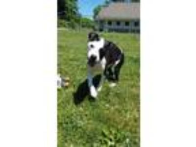 Adopt Niko a Black American Pit Bull Terrier / Mixed dog in Hudson