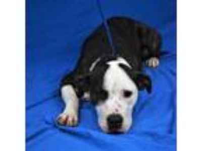 Adopt Hermione a White American Pit Bull Terrier / Mixed dog in Cabot
