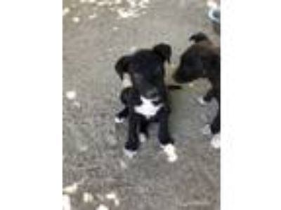 Adopt Pretzel a Black - with White Labrador Retriever / Mixed dog in Studio