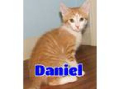 Adopt #4629 Daniel a Orange or Red (Mostly) Domestic Shorthair / Mixed (short