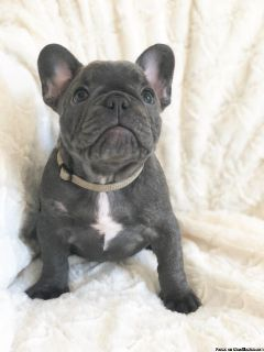 CUTE FRENCHIE GIVEAWAY