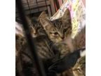 Adopt Dusty a Tiger Striped Domestic Shorthair (short coat) cat in Loogootee