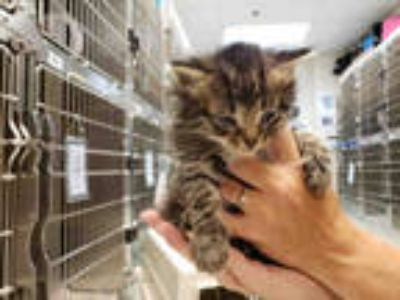 Adopt TUCKER a Brown Tabby Domestic Mediumhair / Mixed (medium coat) cat in