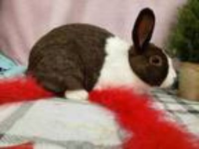 Adopt Lola a Chocolate Dutch / Other/Unknown / Mixed rabbit in Corvallis