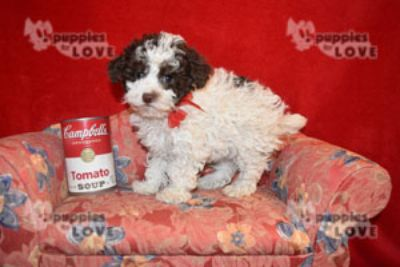 Poodle (Toy) PUPPY FOR SALE ADN-80493 - TCUP AKC  FULL REGISTRATION