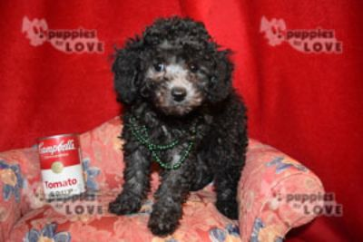 Poodle (Toy) PUPPY FOR SALE ADN-94518 - AKC TOY FULL REGISTRATION