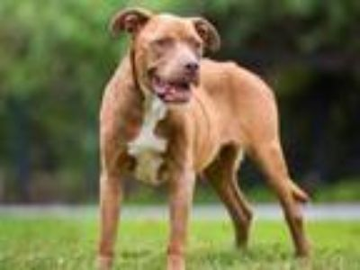 Adopt LALA a Pit Bull Terrier, Mixed Breed