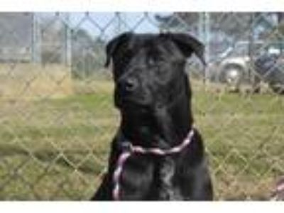 Adopt Tux a Black Labrador Retriever / Mixed dog in Thomasville, GA (23273105)