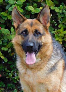 German Shepherd Dog PUPPY FOR SALE ADN-72107 - World Champion Bloodline German Shepherd Puppies