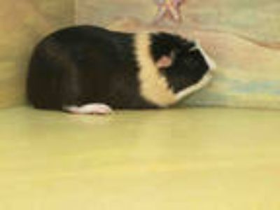 Adopt S'MORES a Black Guinea Pig / Mixed small animal in Agoura, CA (25345155)