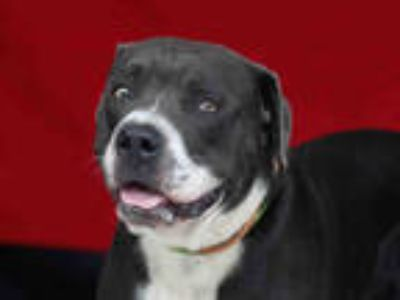 Adopt LEO a Black - with White American Pit Bull Terrier / Mixed dog in Downey